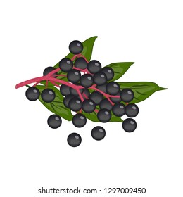 Bunch of small black round elderberry berries with green leaves - vector clipart. Pink stem with ripe black fruit of the Sambucus, plant using in food and traditional medicine
