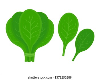Bunch of spinach with two isolated leaves. Fresh greens vector illustration in simple cartoon style.