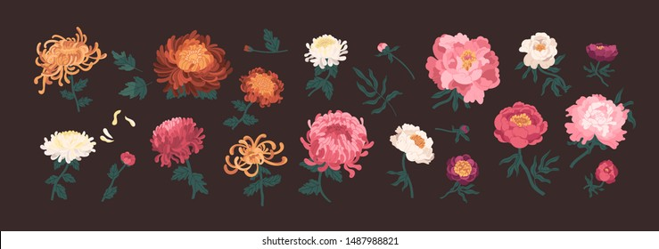 Bundle of blooming peonies and chrysanthemums isolated on black background. Set of flowers and decorative flowering plants. Collection of elegant floral decorations. Natural vector illustration.