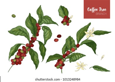 Bundle of botanical drawings of coffea or coffee tree branches with leaves, flowers and ripe fruits isolated on white background. Colorful vector illustration hand drawn in elegant vintage style.