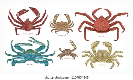 Bundle of colorful drawings of different types of crabs. Collection of beautiful marine animals or ocean crustaceans hand drawn on white background. Elegant vector illustration in vintage style