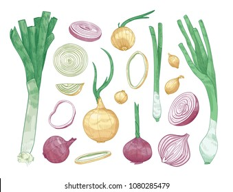 Bundle of different whole and cut onions isolated on white background. Set of colorful drawings of raw vegetables of various types. Elegant realistic vector illustration in vintage engraving style