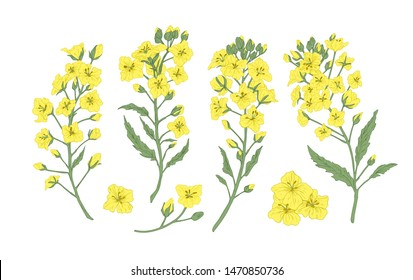Bundle of elegant botanical drawings of blooming rapeseed, canola or mustard flowers. Set of crop or cultivated plant. Collection of natural design elements. Floral realistic vector illustration.