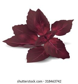 Bundle of purple  basil leaves. Realistic vector illustration