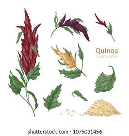 Bundle of various quinoa flowering plants and seeds hand drawn on white background. Collection of gorgeous cultivated grain crops for healthy nutrition. Realistic vector illustration in vintage style