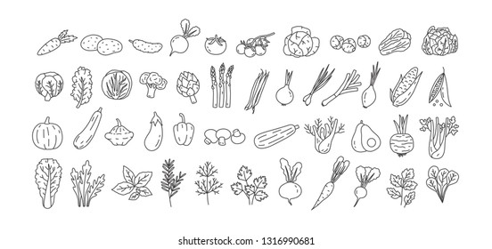 Bundle of vegetables, cultivated root crops, salads, spicy herbs drawn with contour lines on white background. Set of natural design elements. Monochrome vector illustration in line art style