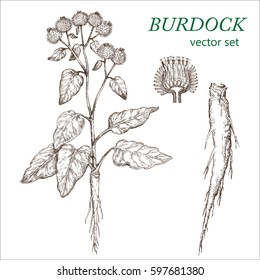 Burdock.  Botanical Illustration. Medicinal plants.  The drawing hands.
