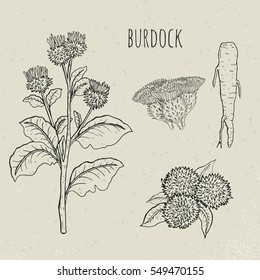 Burdock medical botanical isolated illustration. Plant, root, leaves, blossoming hand drawn set. Vintage sketch.