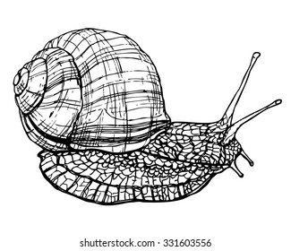 Burgundy or edible snail sketch. Ink vector drawing of crawling snail with shell and horns