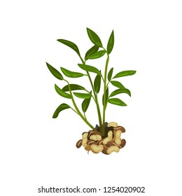 Bush of peanut with bright green leaves. Natural product. Agricultural plant. Flat vector design