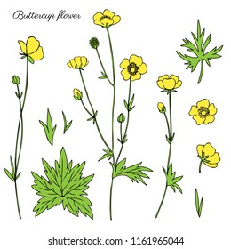Buttercup flower or Crowfoot vector illustration isolated on white background, ink sketch, decorative herbal colorful doodle, line art for design medicine, wedding invitation, greeting card, cosmetic