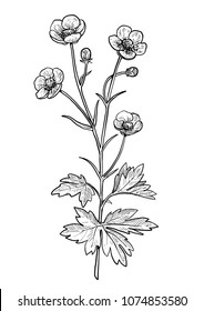 Buttercup flower illustration, drawing, engraving, ink, line art, vector