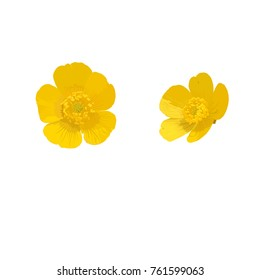 Buttercup. Flower. Vector illustration.