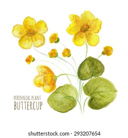 Buttercup perennial flower on white background. Watercolor floral illustration.