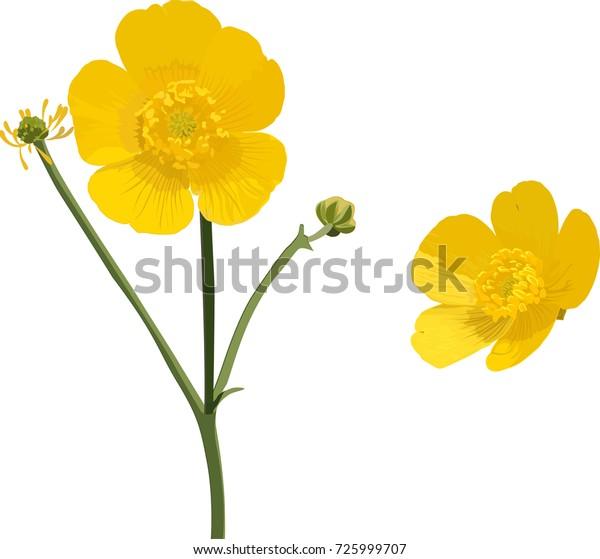 9cc00974f798e Buttercup Yellow Flower Vector Illustration Stock Vector (Royalty ...