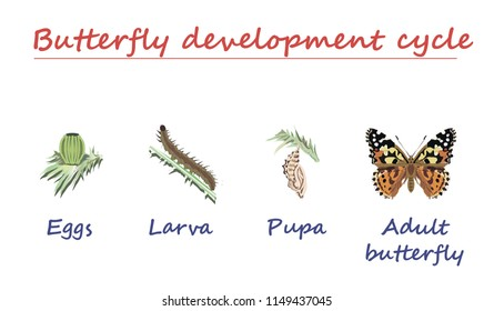 Butterfly development  cycle isolated on white background. Eggs, larva, pupa and adult butterfly in born progress. education vector illustration.