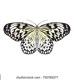 Butterfly Idea Leuconoe.  hand-drawn Sketch of Butterfly isolated on white background.  Vector illustration