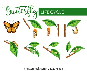 Butterfly insect life cycle larva transformation vector biology and nature evolution caterpillar stage and cocoon eggs and larva flying bug with bright wings branch with leaf monarch species.