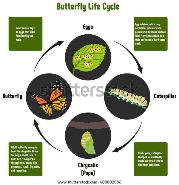 Butterfly Life Cycle Diagram All Stages Stock Vector