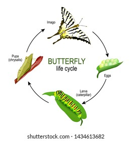 butterfly life cycle from eggs and Larva (caterpillar) to Pupa (chrysalis) and Imago. Vector diagram for educational, science, and biological use