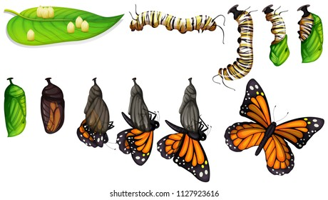 The butterfly life cycle illustration