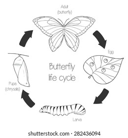 Butterfly life cycle line art