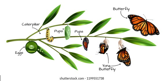 Butterfly metamorphosis on example of danainae monarch species realistic composition vector illustration