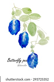 Butterfly pea or Blue pea .Hand drawn watercolor painting on white background.Vector  illustration