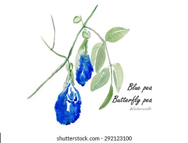 Butterfly pea or Blue pea.Hand drawn watercolor painting on white background .Vector illustration