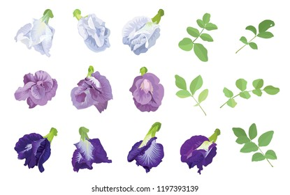 Butterfly pea flowers in blue, white, purple color and leaf on background. Vector set of blooming floral for wedding invitations and greeting card design.