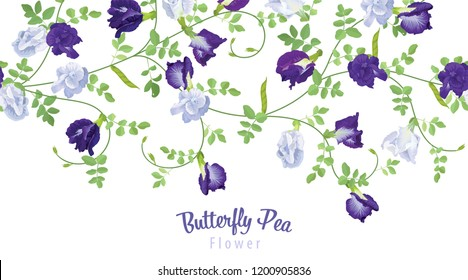 Butterfly pea flowers in blue and white color with leaf on background. Vector set of blooming floral for wedding invitations and greeting card design.