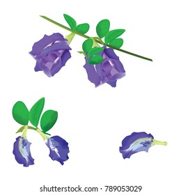Butterfly pea plant with vibrant blue flower
