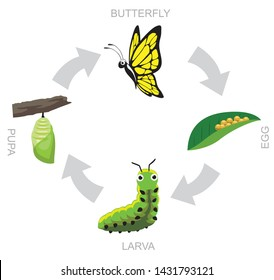 Butterfly Pupa Larva Life Cycle Vector Illustration Background
