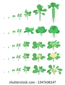Cabbage set. Brussels sprout, Broccoli Kohlrabi Cauliflower kinds of cabbage. Crop stages planting cabbages plant. Harvest growth vegetable. Brassica oleracea vector flat Illustration.