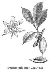 Cacao tree  / vintage illustration from Meyers Konversations-Lexikon 1897