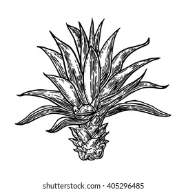 Cactus agave. Vintage black vector engraving illustration for label, poster, web. Isolated on white background.