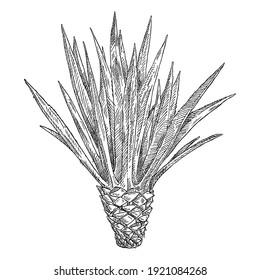 Cactus blue agave. Vintage vector black hatching illustration. Isolated on white background