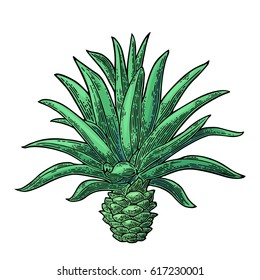 Cactus blue agave. Vintage vector color engraving illustration for label, poster, web. Isolated on white background