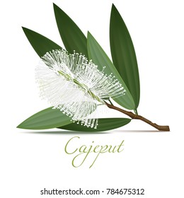 Cajeput Flower and Leaves. Realistic Elements for Labels of Cosmetic Skin Care Medical Product Design. Vector Isolated Illustration
