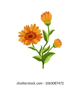 Calendula flowers on white background. Medicinal herbs. Vector illustration.