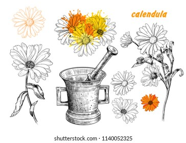 Calendula flowers.Vector set of medicinal plants. Hand-drawn vector illustration in vintage style.Isolated design elements.