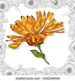 Calendula. Medical herb illustration isolated on white. Vector illustration.