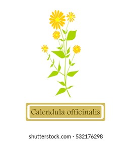 Calendula officinalis (common marigold) in flat style isolated on white background