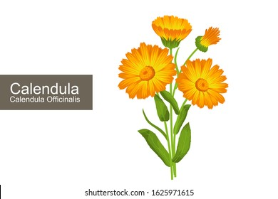 Calendula officinalis tea plant vector illustration. Orange flowers of calendula.