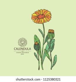 Calendula: calendula plant, leaves and calendula bud and flowers. Cosmetics and medical plant. Vector hand drawn illustration.