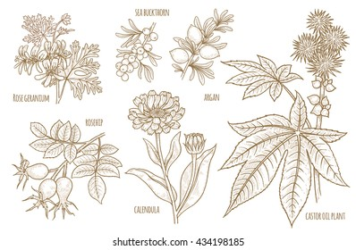 Calendula, Rosehip, Argan, Rose geranium, Castor oil plant, Sea buckthorn. Set of medical herbs. Designed to create package of health and beauty natural products. Vector.