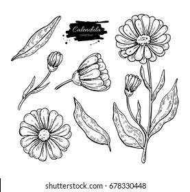 Calendula vector drawing. Isolated medical flower and leaves. Herbal engraved style illustration. Detailed botanical sketch for tea, organic cosmetic, medicine, aromatherapy