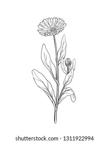 Calendula vector illustration of marigold flower twig, sketch engraving vintage botanical illustration, outline meadow wildflower, alternative medicine and beauty herb isolated on white