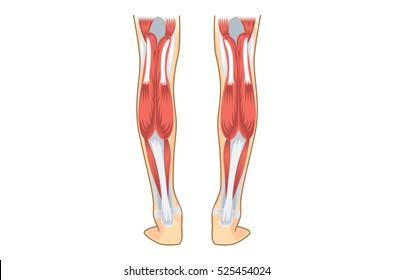 Calf Muscle of human. Illustration about human leg Anatomy.