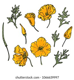 California poppy. Eschsolcia in different stages of flowering